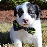 Adopt A Pet :: Jagger - Aubrey, TX