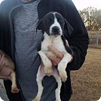 Adopt A Pet :: Israel - Patterson, NY