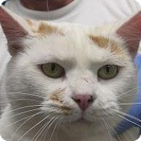 Adopt A Pet :: Sarabi - Lincolnton, NC