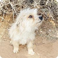 Adopt A Pet :: Adorable LIL Ms Aileen - Albuquerque, NM