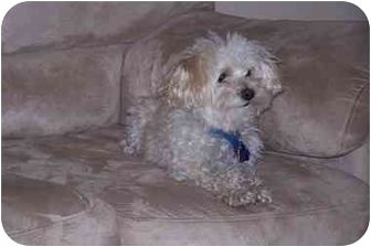 Maltese/Poodle (Miniature) Mix Dog for adoption in Plainfield, Illinois - Reggie