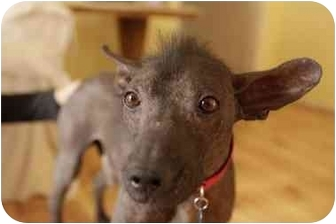 Mexican Hairless Dog For Adoption
