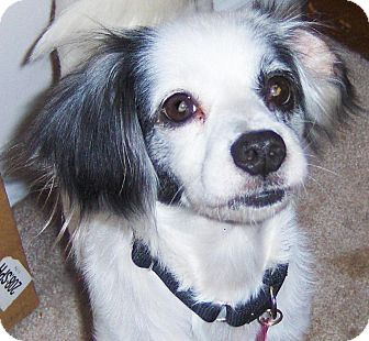 Papillon/Chihuahua Mix Dog for adoption in Orange Park, Florida - Patches
