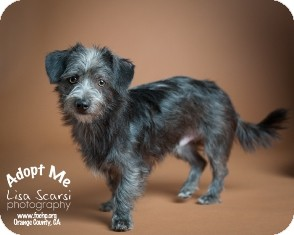 Terrier (Unknown Type, Small) Mix Dog for adoption in Tustin, California - Leonard