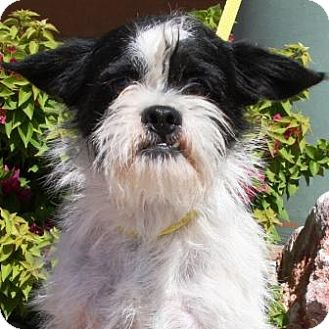 Terrier (Unknown Type, Small)/Pug Mix Dog for adoption in Gilbert, Arizona - Fred