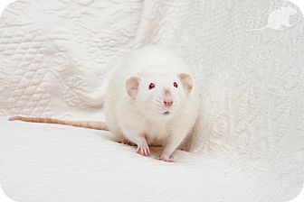 Rat for adoption in Boise, Idaho - Chester