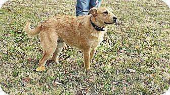 Finnish Spitz/Cattle Dog Mix Dog for adoption in Houston, Texas - Drama