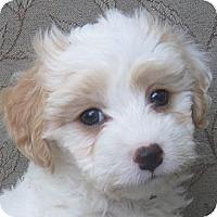 Adopt A Pet :: Cyndi - La Costa, CA