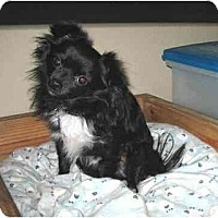 Adopt A Pet :: Charlie Chi - Conroe, TX