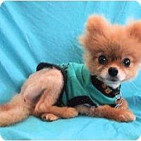 Adopt A Pet :: Brad - Mooy, AL