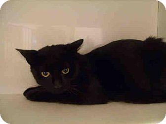 Domestic Shorthair Cat for adoption in Herndon, Virginia - Tyrah