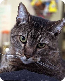 Domestic Shorthair Cat for adoption in Anderson, Indiana - Merlin