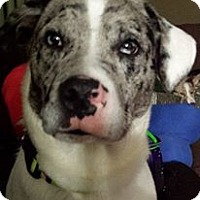Adopt A Pet :: Beaux (Bo) - Plainfield, IL