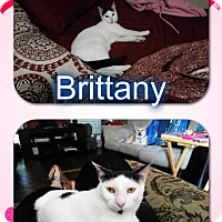 Adopt A Pet :: Brittany - Arlington/Ft Worth, TX