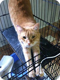 Domestic Shorthair Cat for adoption in Colfax, Illinois - Duranamo