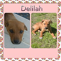 Adopt A Pet :: Delilah IN CT - Manchester, CT