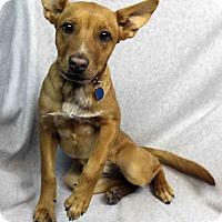 Adopt A Pet :: Sugar - Westminster, CO