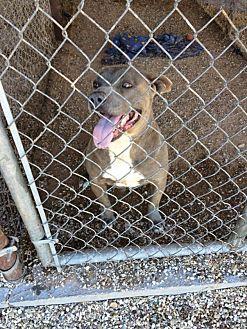 Pit Bull Terrier Mix Dog for adoption in Post, Texas - Otis
