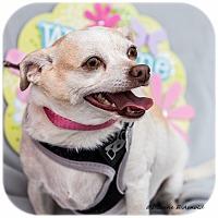 Adopt A Pet :: Star - San Marcos, CA