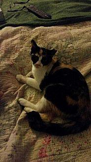 Calico Cat for adoption in San antonio, Texas - Patches