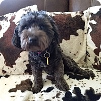Adopt A Pet :: Zoey~~ADOPTION PENDING - Sharonville, OH