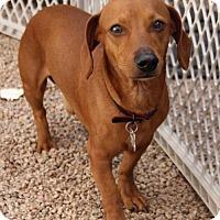 Adopt A Pet :: Major Red - Phoenix, AZ