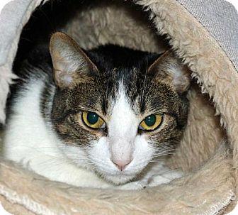 Domestic Shorthair Cat for adoption in Spokane Valley, Washington - Freya