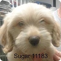 Adopt A Pet :: Sugar - baltimore, MD