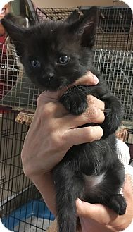 Domestic Shorthair Kitten for adoption in Loogootee, Indiana - Elsa