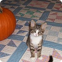 Adopt A Pet :: Olive-kitten born Sept - Taylor Mill, KY