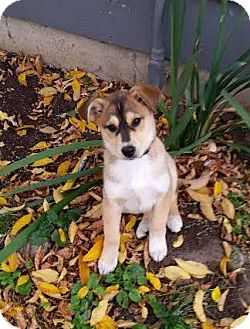 Shepherd (Unknown Type)/Husky Mix Puppy for adoption in Saskatoon, Saskatchewan - Ellie