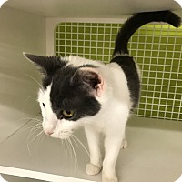 Domestic Shorthair Cat for adoption in millville, New Jersey - Cleo
