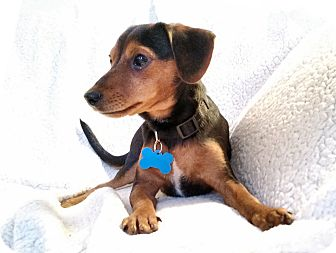 Dachshund/Chihuahua Mix Dog for adoption in Barium Springs, North Carolina - ALFIE