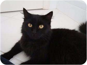 Domestic Mediumhair Cat for adoption in Coral Springs, Florida - Samantha