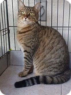Bengal Cat for adoption in Lantana, Florida - Sophie