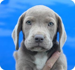 Weimaraner/Basset Hound Mix Dog for adoption in Phillips, Wisconsin - Peaches