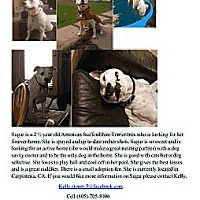 Adopt A Pet :: Sugar - Carpenteria, CA