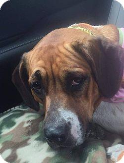Boxer/Basset Hound Mix Dog for adoption in Glen St Mary, Florida - Mila