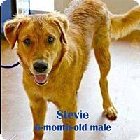 Adopt A Pet :: Stevie #TBA - Fort Worth, TX