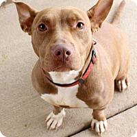 American Bulldog Dog for adoption in Fort Madison, Iowa - Roxi