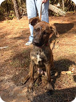 Catahoula Leopard Dog/Labrador Retriever Mix Puppy for adoption in Manchester, New Hampshire - Jakco