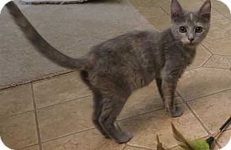 Domestic Shorthair Kitten for adoption in Bedford, Virginia - Friskie