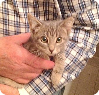 Domestic Shorthair Kitten for adoption in Fowlerville, Michigan - Lucie