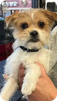 Brussels Griffon/Terrier (Unknown Type, Medium) Mix Puppy for adoption in Spring, Texas - Henry