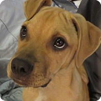Adopt A Pet :: Benny! ADORABLE Puppy! - St Petersburg, FL