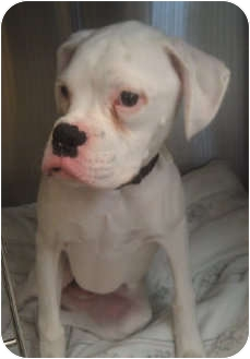 Boxer Puppy for adoption in Grafton, Massachusetts - Rascal!