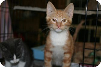American Shorthair Kitten for adoption in Spring Valley, New York - Patrick