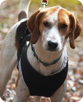 Treeing Walker Coonhound Mix Dog for adoption in N. Berwick, Maine - Felix