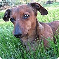 Adopt A Pet :: Izzie - Sioux Falls, SD