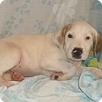 Adopt A Pet :: Knight - South Jersey, NJ